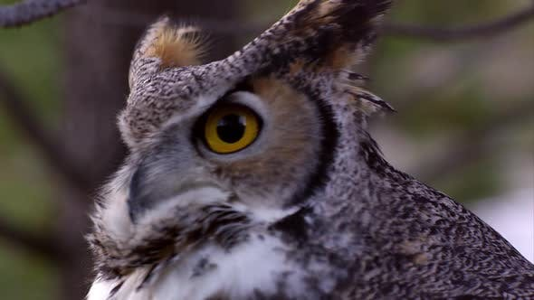 Thumbnail for Tight shot of great horned owls head swiveling and hooting