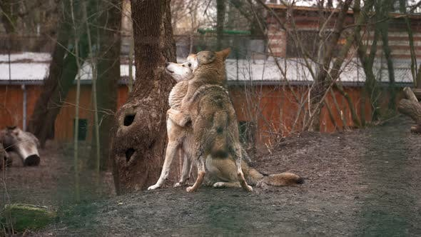 Two Beautiful Wolves Playing Behind Bars in the Zoo