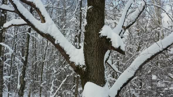 Drone fly up close to an oak tree covered with snow in a winter forest