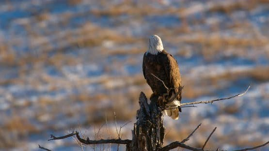 Bald Eagle Adult Lone Perched Looking Around in Autumn in Wyoming