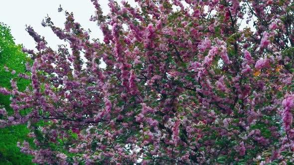 Japanese Flowering Cherry Sakura with Flowers on Beautiful