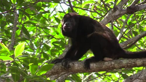 Mantled Howler Monkey Male Adult Lone Looking Around in Costa Rica