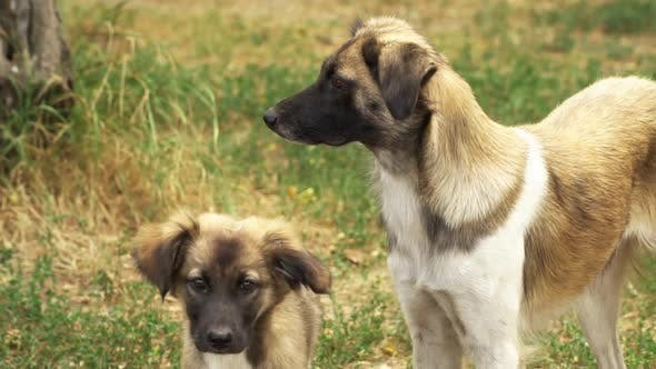 Two Stray Dogs Look Around