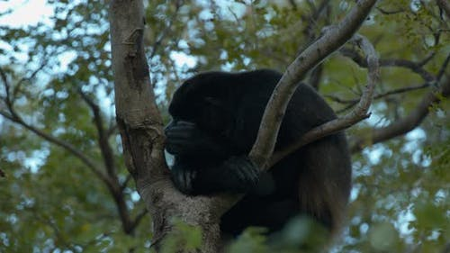 Mantled Howler Monkey Male Adult Lone Yawning Open Mouth Dawn Morning Lazy