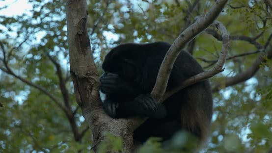 Thumbnail for Mantled Howler Monkey Male Adult Lone Yawning Open Mouth Dawn Morning Lazy