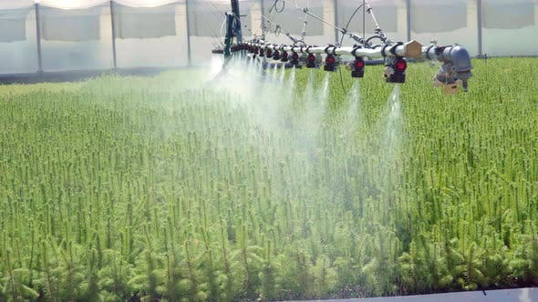 Thumbnail for Irrigation of Green Plantation of Pine Seedlings with Sprinkler System