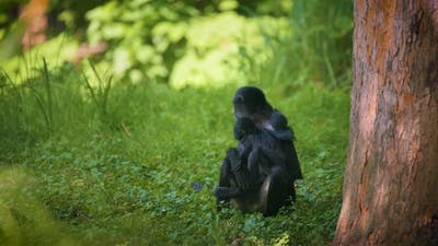 Geoffroy's Spider Monkey and Its Baby