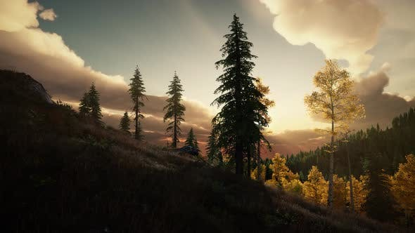 Thumbnail for Pine Forest with the Last of the Sun Shining