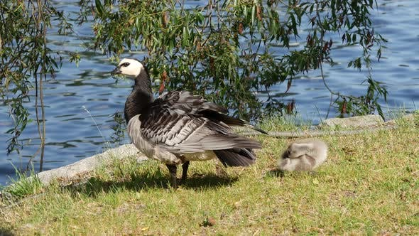 Thumbnail for Canada geese with a young in Stockholm Sweden
