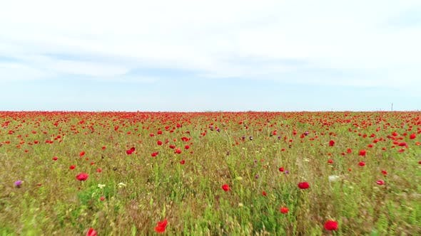 Thumbnail for Endless Poppy Field