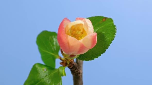 Thumbnail for Japanese Quince (Chaenomeles) Blossom Macro Timelapse