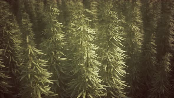 Field of Green Medial Cannabis