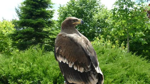 Eagle inspects the surrounding forest