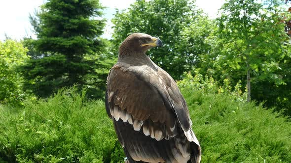 Thumbnail for Eagle inspects the surrounding forest