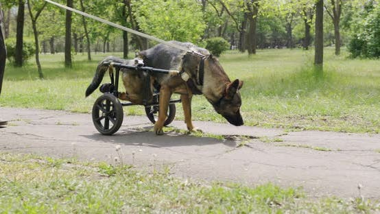 Thumbnail for A Dog Who Is in a Wheelchair for Animals.