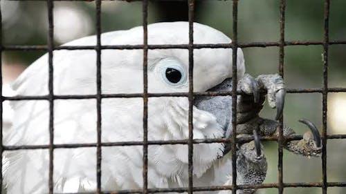 Weißer Kakadu in Gefangenschaft
