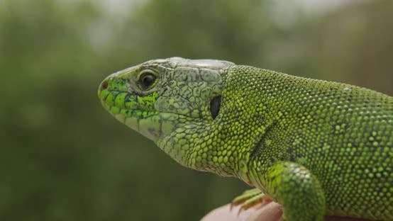 Thumbnail for Lizard, Portrait of Green Headed Agama Lizard. Rwanda Africa. Stable Footage. Closeup.