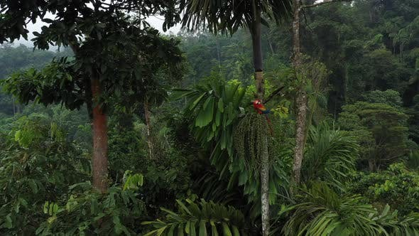 Scarlet macaw that is eating from the fruits of a palm tree in tropical rainforest of south america