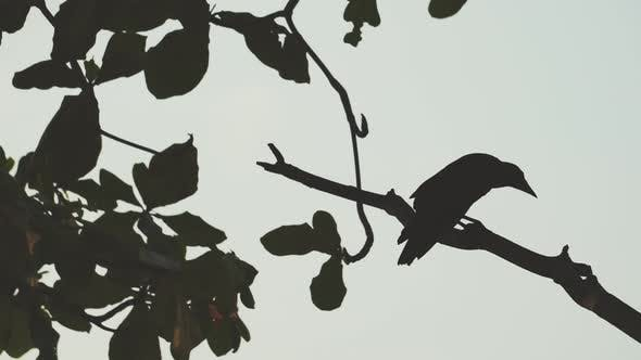 Silhouette selection focus crow stand the the branch