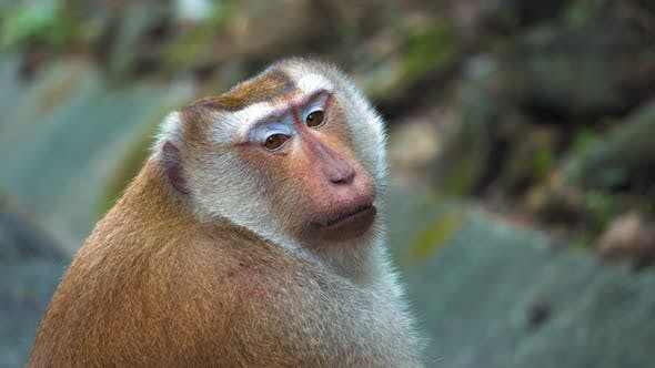 Thumbnail for Face of A Monkey Close-Up, Portrait. the Monkey Is Sitting and Looking at The Camera in The Park