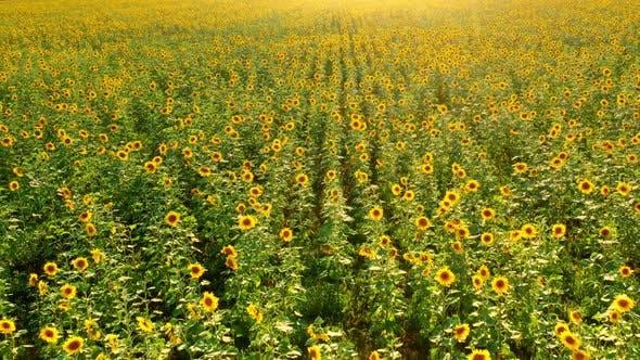 Beautiful Field of Blooming Sunflowers at Sunset Aero