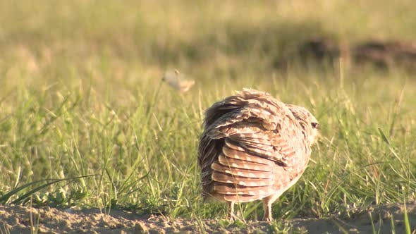 Thumbnail for Burrowing Owl Bird Scratching and Breeding Dancing Display in Great Plains Prairie in Spring