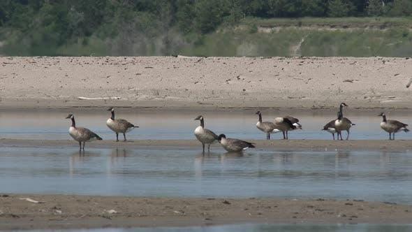 Thumbnail for Canada Goose Flock Many Resting in Summer Sandbar in Nebraska
