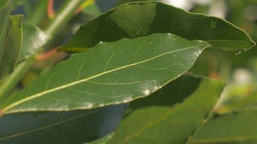 Laurel tree branches and green leaves slow tilting  4K 2160p UHD footage - Laurus nobilis slow  tilt