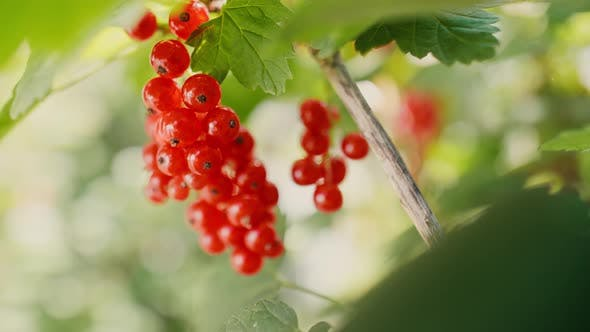 Extreme close up of red currant