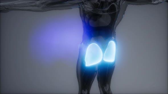 Thumbnail for Gluteus Maximus - Leg Muscles Anatomy
