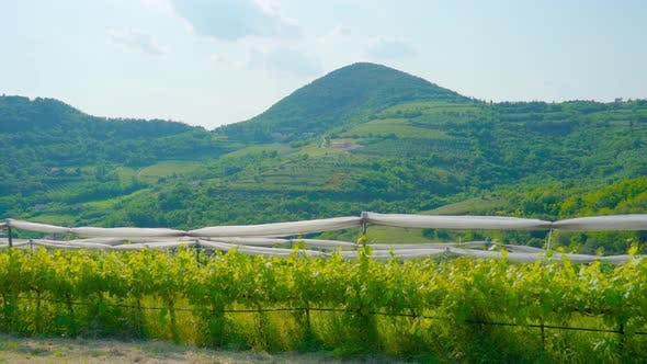 Vineyards Grow on the Green Hills