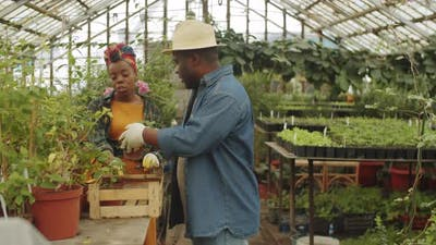 Afro-American Couple Working Together in Greenhouse
