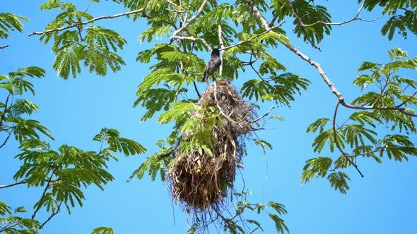 Thumbnail for Rose-throated Becard Bird in its Nest at Natural Habitat in the Forest