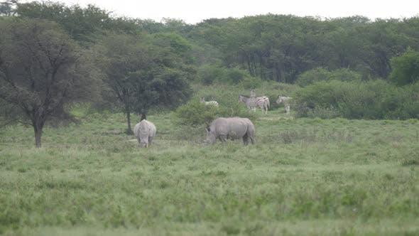 Thumbnail for Two rhinos grazing at Khama Rhino Sanctuary