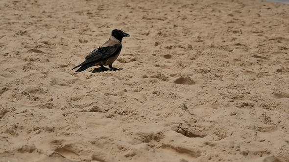 Thumbnail for Crow standing on the sand beach