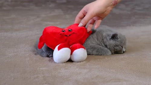 Valentine 's Day present. Small, fluffy, grey kitten and red soft heart.