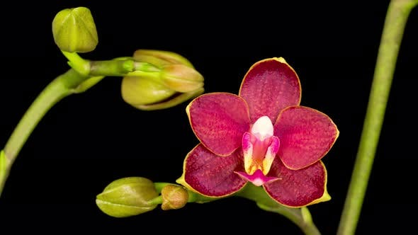 Cover Image for Blooming Red Orchid Phalaenopsis Flower