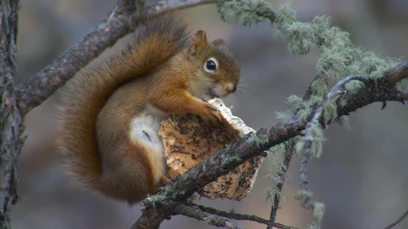 Thumbnail for Red Squirrel Adult Lone Eating Feeding in Autumn in South Dakota
