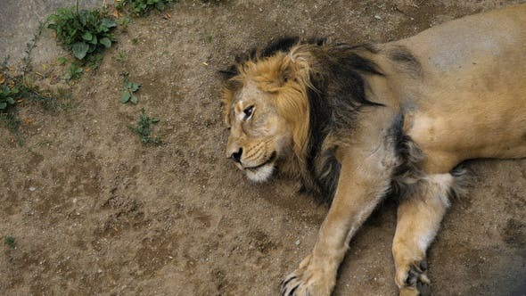 Thumbnail for African lion sleeping on a hot summer day.