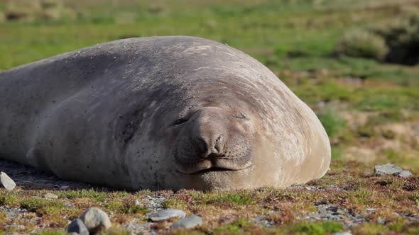 Thumbnail for Large Elephant Seal On South Georgia Island