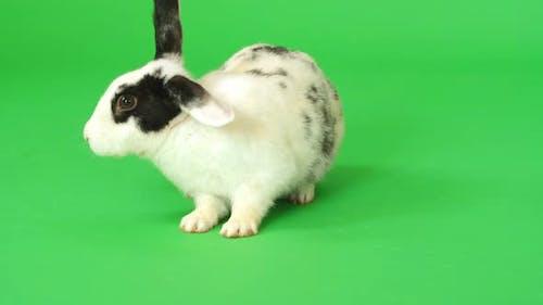 Rabbit On Green Screen