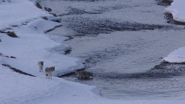 Coyote Adult Immature Pack Several Standing Walking in Winter Crossing Water