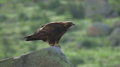 Wild Eagle Perched in Stone