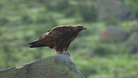 Thumbnail for Wild Eagle Perched in Stone