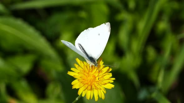 Thumbnail for Butterfly collecting nectar from a dandelion