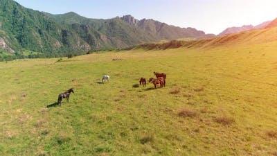 Flight Over Wild Horses Herd on Meadow