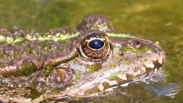 Thumbnail for Green Frog in the River Blinks an Eye. Close-Up. Portrait Face of Toad in Water Plants