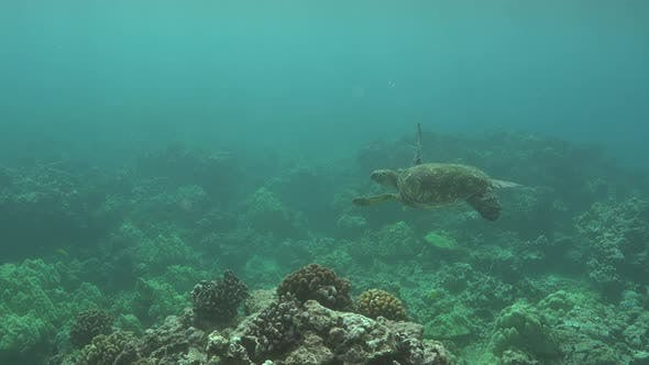 Thumbnail for Green Sea Turtle Adult Alone Swimming in Hawaii