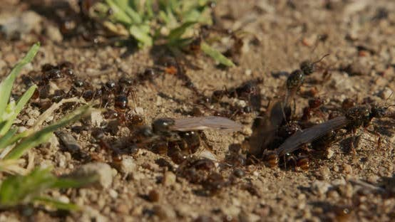 Thumbnail for Colony Ants on an Anthill Closeup
