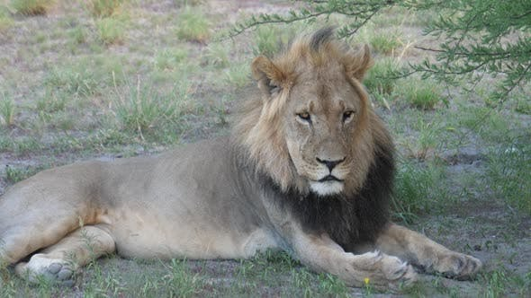 Thumbnail for Male lion laying down while looking in to the camera